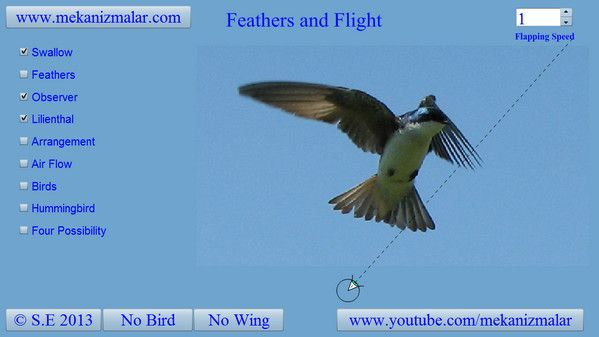 Tree Swallow open flaps